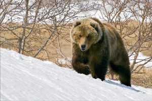 Медведи зимой