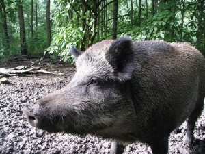 Охота на свиней