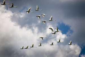 Водоплавающая птица перелет