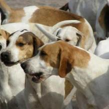 Выводка гончих собак в Свердловской области
