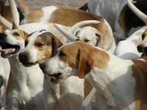 Выводка гончие собаки для охоты