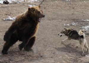 Состязание лаек на медведя