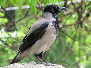 серый ворон