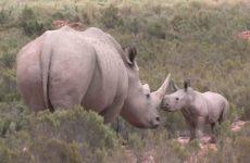 В ЮАР разрешили торговлю рогами носорога